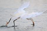 Snowy Egret: Aerial foraging