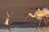 _MG_6477 Ruddy Turnstone & White Ibis.jpg