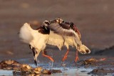 Ruddy Turnstone - 1 minute battle - selected images