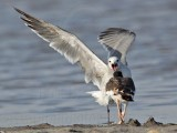 American Oystercatcher chasing Laughing Gull over dead crab - UTC August 2009