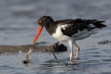 American Oystercatcher and crab - UTC August 2009