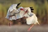 White Ibis fighting - UTC - August 2009