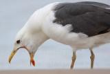 Lesser Black-backed Gull at Quintana, UTC September 5, 2009