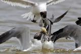 Laughing Gull,  White Ibis & wealth distribution