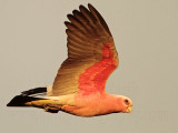 Galah on wing - Top End, Northern Territory, Australia