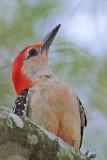 Red-bellied Woodpecker - Cypresswood June 26, 2010