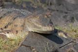 Australian Freshwater Crocodile - Crocodylus johnstoni - Top End, Northern Territory, Australia