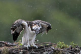 Osprey - juveniles on nest in rain