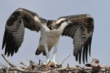 Osprey - fledging day - 1st flight: last moment before taking off - Flight #1 of 11