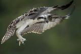 Osprey - fledging day - Flight #11 of 11