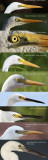 Comparing close-up photos of white-headed Ardeidae found in Northern Territory, Australia