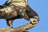 "Bald Eagles fledgling 2010 - keeping balance on ""three legs"""