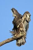 Bald Eagles fledgling 2010 on perch