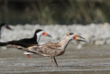 Black Skimmer - 'brown' Female#3 - Fulton-Rockport 073110