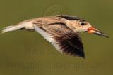 Black Skimmer - 'brown' Female#1 - Fulton-Rockport 080110