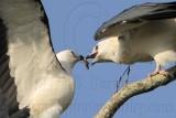 Swallow-tailed Kite feeding juveniles 080710