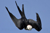 _MG_7926 Swallow-tailed Kite.jpg