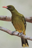 Yellow Oriole - Top End, Northern Territory, Australia