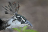 Indian Peafowl portraits - Top End, Northern Territory, Australia