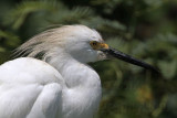 Snowy Egrets with discolored plumes