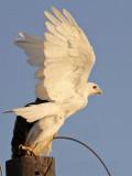Leucistic Red-tailed Hawk - Katy - Texas - fall 2010