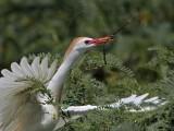 Cattle Egret - nest building material - summer 2010