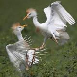 Cattle Egret - fights - summer 2010