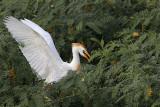 Cattle Egret - breeding plumage - summer 2010