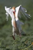 Cattle Egret - on wing - summer 2010