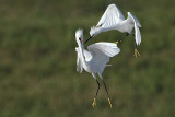 Snowy Egret - extended fight