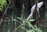 Cattle Egret - living among alligators - collecting nesting material in water