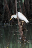 Cattle Egret - living among alligators - adult drinking