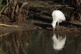 Cattle Egret - living among alligators - juvenile drinking & hunting
