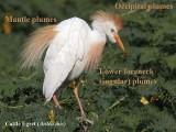 Cattle Egret plumes – nomenclature