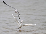 How fast Snowy Egret can swallow a shrimp when harassed by gulls?