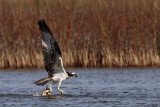 Osprey strikes large blue crab - crab fights back and gets free