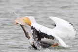 Brown and American White Pelican  fighting over fish