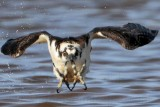 """Osprey - """"Fish Worst Nightmare"""""""