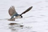 Tree Swallow foraging - Brazoria NWR January 15, 2011