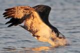 Osprey - medium-angle plunge