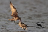 Marbled Godwit - fight #1