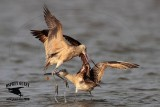 Marbled Godwit  upper mandible movements during fight