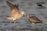Marbled Godwit - fight #2