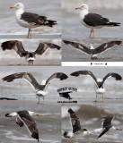 Lesser Black-backed Gull - Quintana - September 2012