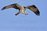Osprey - Defecation - on the wing