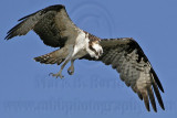 Osprey - Exercising feet before attack