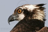 Osprey - Portraits
