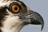 Osprey - Unique adaptation - Closable nostrils