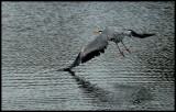 A heron at Watermead Park
