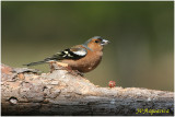 pinson des arbres - common chaffinch.jpg